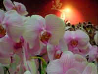 Phalenopsis 6 (by Pier Paderni) Taipei