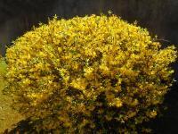 Pier Paderni - esplode il giallo oro delle forsitzie