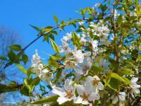Pier Paderni - i ciliegi sognano