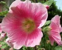 rosa aperto